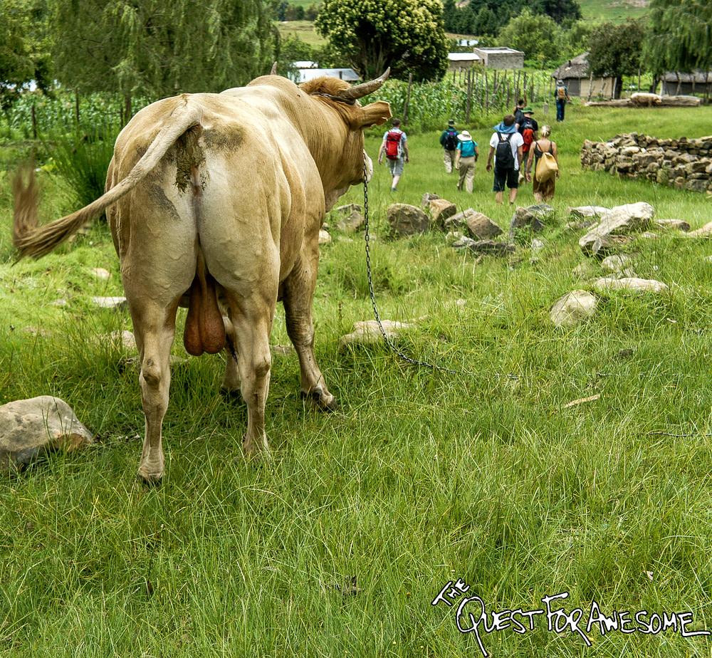 Lesotho Livestock